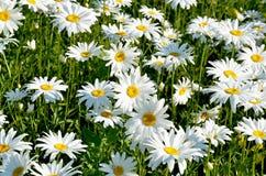 Flores bonitas do prado Fotografia de Stock Royalty Free