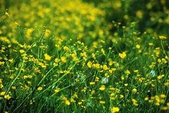 Flores bonitas do prado do verão Imagem de Stock Royalty Free