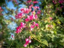 Flores bonitas 02 do rosa Fotografia de Stock Royalty Free