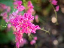 Flores bonitas 01 do rosa Fotografia de Stock