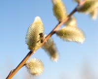 Flores bonitas do salgueiro de bichano e uma abelha Imagem de Stock