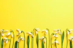 Flores bonitas do snowdrop da mola no fundo da cor foto de stock royalty free