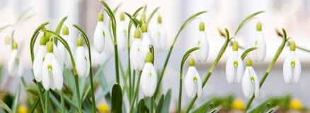 Flores bonitas do snowdrop na natureza Fotografia de Stock