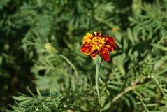 Flores bonitas do verão Imagens de Stock Royalty Free