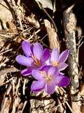 Flores bonitas dos açafrões Fotos de Stock Royalty Free