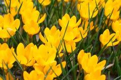 Flores bonitas dos açafrões no jardim Açafrões amarelos das flores da mola Fim acima Fundo da mola Imagem de Stock