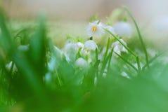 Flores bonitas dos flocos de neve da mola Fotografia de Stock