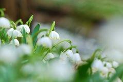 Flores bonitas dos flocos de neve da mola Imagem de Stock Royalty Free