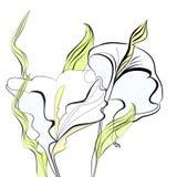 Flores bonitas dos lírios de calla Foto de Stock