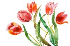 Flores bonitas dos tulips Fotos de Stock Royalty Free