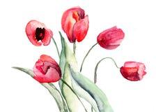Flores bonitas dos Tulips Foto de Stock Royalty Free