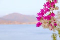 Flores bonitas e coloridas da buganvília Flores do magenta do ramo e as brancas da buganvília no fundo do borrão do mar azul, imagens de stock
