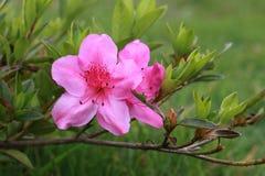 Flores bonitas em Indonésia fotografia de stock
