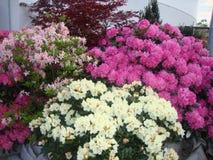 Flores bonitas A instalação bonita da planta Projeto da paisagem foto de stock