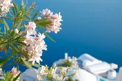 Flores bonitas na ilha de Santorini, Oia, Grécia Fotos de Stock Royalty Free