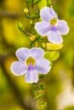 Flores bonitas no alvorecer 2 Foto de Stock