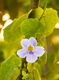 Flores bonitas no alvorecer Foto de Stock Royalty Free