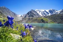 Flores bonitas no fundo de um lago da montanha e de uns picos nevado nas montanhas altas de Altai Animais selvagens de Sibéria de imagem de stock