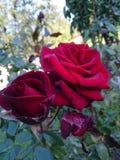 Flores bonitas no jardim do Arapovsky Monastир fotos de stock royalty free