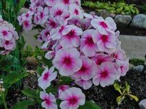 Flores bonitas no jardim do verão branco da cinco-pétala com as flores center vermelhas do flox Foto de Stock Royalty Free