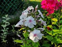 Flores bonitas no jardim do verão branco da cinco-pétala com um núcleo vermelho e umas flores vermelhas do flox Fotos de Stock