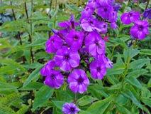 Flores bonitas no jardim do verão vermelho da cinco-pétala com as flores brancas e roxas do flox Imagens de Stock