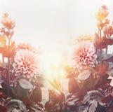 Flores bonitas no jardim ou no parque na luz do por do sol, fundo floral, verão exterior fotos de stock