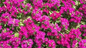 Flores bonitas no jardim sob o sol do inverno Fotografia de Stock