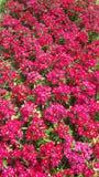 Flores bonitas no jardim sob o sol do inverno Fotos de Stock