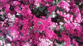 Flores bonitas no jardim sob o sol do inverno Foto de Stock Royalty Free