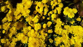 Flores bonitas no jardim sob o sol do inverno Imagens de Stock