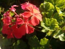 Flores bonitas vermelhas imagens de stock royalty free