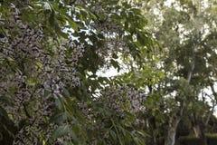 Flores bonitos do jasmim na flor Imagem de Stock Royalty Free
