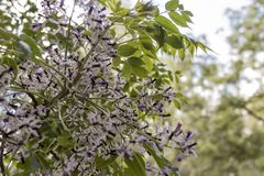 Flores bonitos do jasmim na flor Imagens de Stock