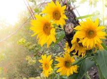 Flores borradas delicado do girassol Imagem de Stock
