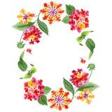 Flores botânicas florais do Lantana vermelho Grupo da ilustra??o do fundo da aquarela Quadrado do ornamento da beira do quadro ilustração do vetor