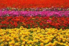 Flores - botões de ouro Imagens de Stock Royalty Free