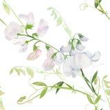 Flores, botões, ramos da ervilha doce Composição decorativa em um fundo da aquarela watercolor Motivos florais Patte sem emenda Imagens de Stock Royalty Free