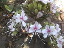 Flores brancas Fotografia de Stock Royalty Free