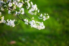 Flores brancas Imagens de Stock