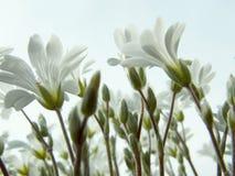 Flores brancas Foto de Stock Royalty Free