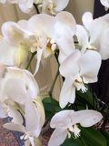 Flores brancas Imagem de Stock