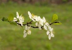 Flores brancas Foto de Stock