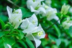 Flores brancas 2 foto de stock