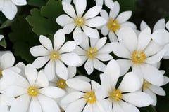 Flores brancas Imagem de Stock Royalty Free