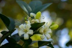 Flores brancas Fotos de Stock