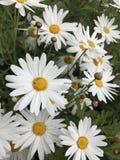 Flores brancas Imagens de Stock Royalty Free