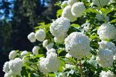 Flores brancas agradávéis do viburnum no fundo verde imagem de stock