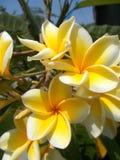 Flores brancas amarelas do frangipani do plumeria Fotos de Stock Royalty Free