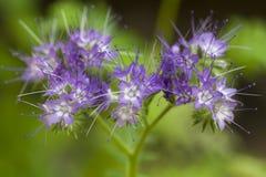 Flores brancas azuis Fotografia de Stock Royalty Free